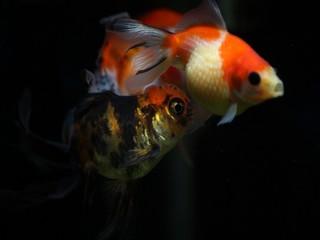 我が家の金魚(ピンポンパールと東錦)