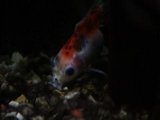 底砂利の餌を漁る金魚の東錦