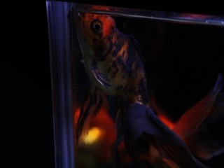 我が家の金魚(東錦(黒系))