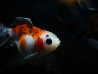 我が家の金魚(東錦(白系))