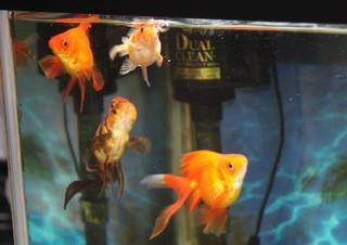 餌を求めて泳ぎ回る金魚たち