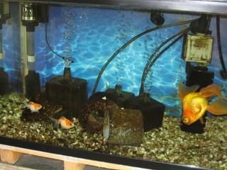 現在の金魚水槽