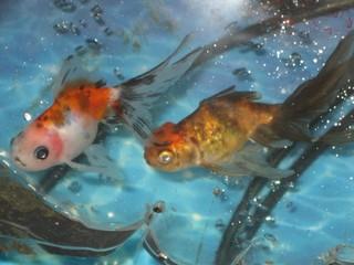 到着した金魚 東錦2匹
