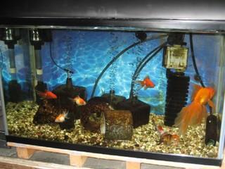 7匹が住む我が家の金魚水槽