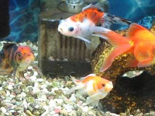 我が家の元気な金魚たち
