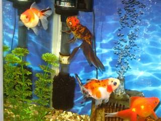 元気に泳ぐ金魚たち