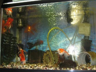 震災を乗り越えた金魚たち