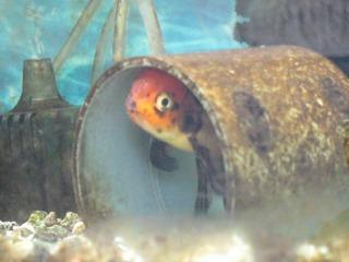 震災後の金魚1