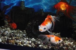暑い中でも元気に泳ぐ我が家の金魚2