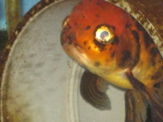 震災後の金魚2